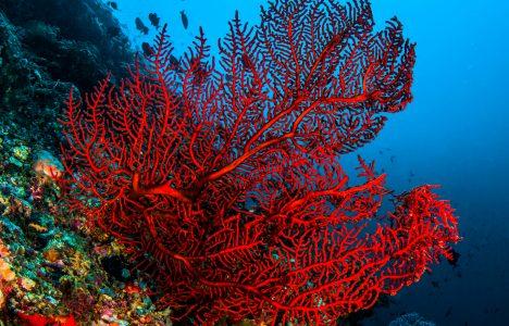 L'or vermell de la mediterrània
